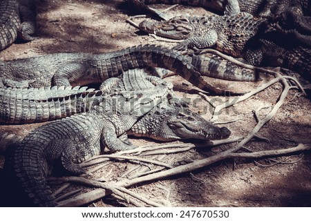 farms Crocodiles. Sleeping crocodiles - stock photo