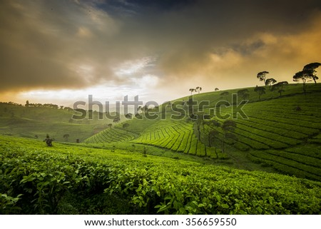 fascinating pattern in the tea plantation located in indonesia in the morning when the sun rises