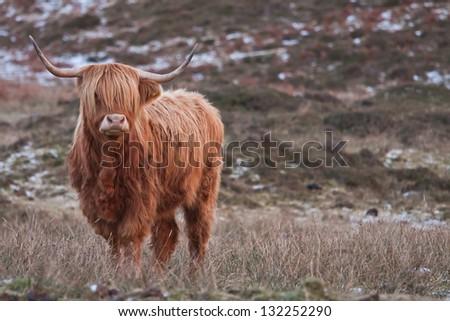 Fashion highland cattle - stock photo