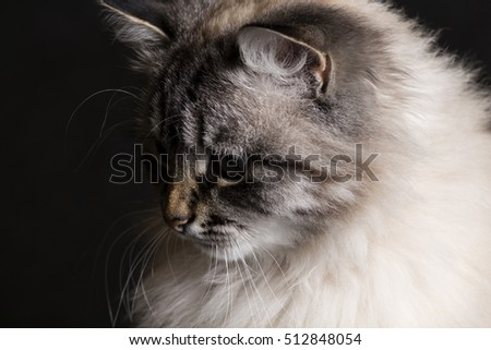 fashion portrait of a fluffy Siamese cat with blue expressive eyes on a black background