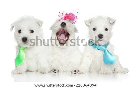Fashion West Highland White Terrier puppies on white background - stock photo