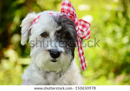 fashionable dog with red ribbon - stock photo
