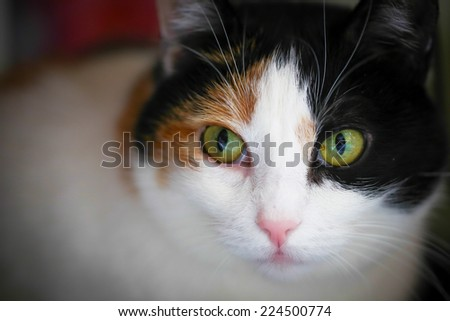 Fat calico cat with a sad face in a closeup view indoor. - stock photo
