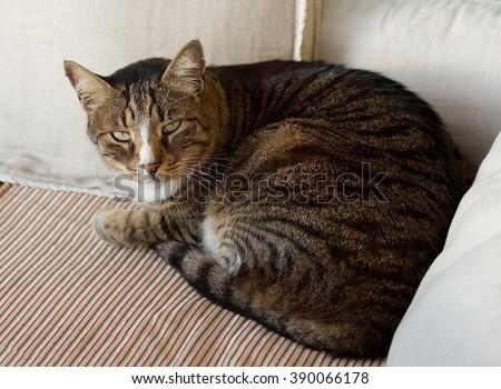 Fat cat looking up, sad cat on a sofa  - stock photo