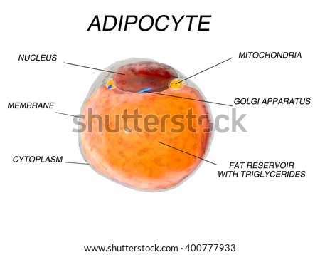 Adipose Cells Stock Photos, Royalty-Free Images & Vectors ...
