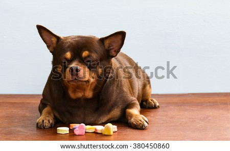Fat Chihuahua dog bored of face, sitting on the desk. It's went eating milk snack for pet - stock photo