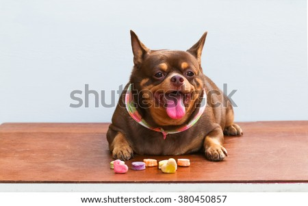 Stock Photo Fat Chihuahua Dog Bored Sitting On The Desk It S Went Eating Milk Snack For Pet on Polished Concrete Desk