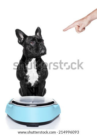fat dog on scale being punished for gaining weight by his owner, isolated on white background