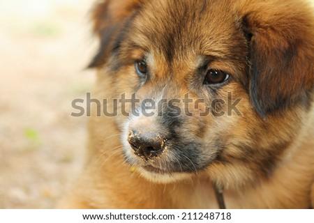 Fat German shepherd puppy - stock photo