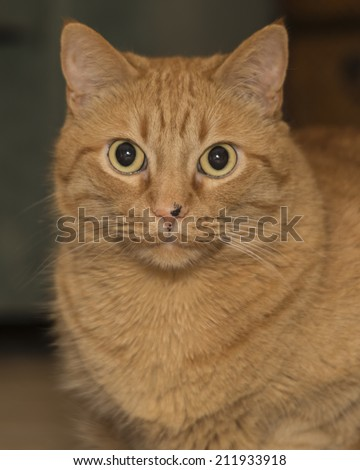 fat ginger cat with very narrow depth of field, focus on eyes only