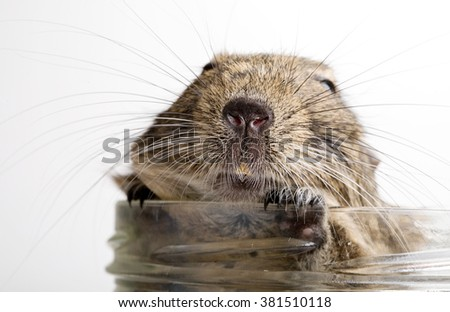 fat hamster muzzle closeup in glass jar isolated on white - stock photo