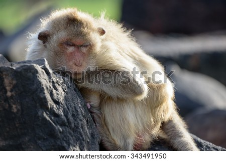 Fat monkey sleeping on wall