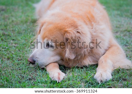 Fat old female golden retriever crouching on the grass in the garden