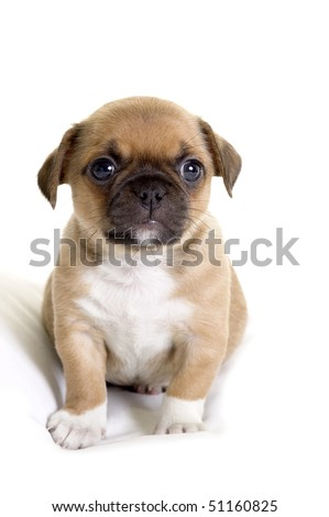 Fat Pug-Chihuahua puppy - stock photo