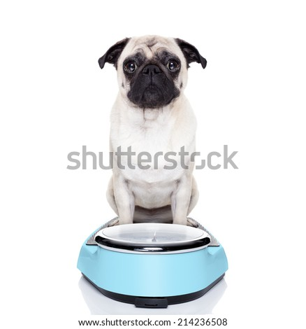 fat pug dog on a scale not happy about it - stock photo