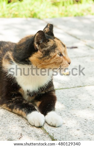 fat three colored cat with damaged ear