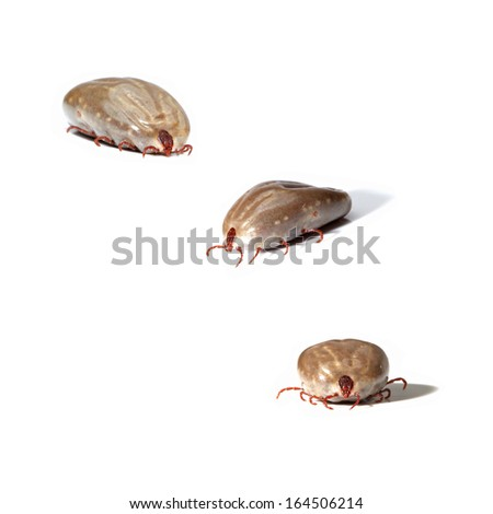 fat tick on a white background  - stock photo