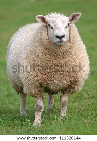 fat woolly sheep standing in green field - stock photo