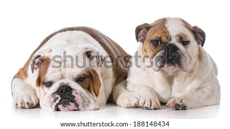 father and daughter bulldogs laying down