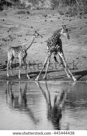 Father and daughter giraffe drinking water from dam, South Africa