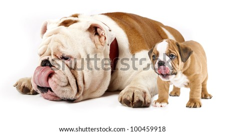 father and son dogs - english bulldog puppy tongue licking nose - stock photo