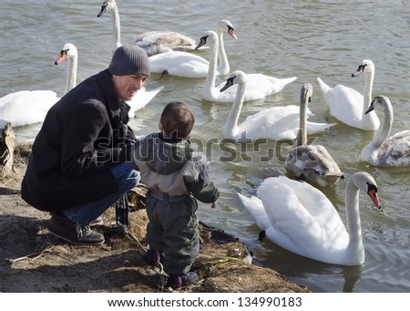 Father and son feeding swans at lake or river