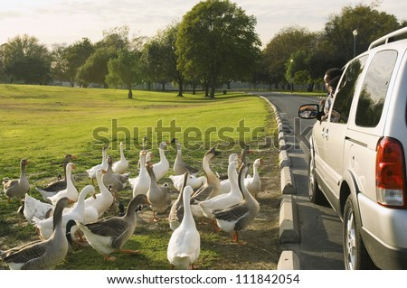 Father and son peeping out of car window to look at the flock of white geese - stock photo