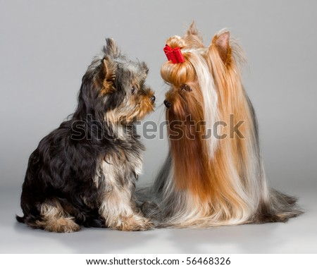 Father and son Yorkshire terrier sitting on a gray background. Not isolated.