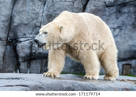 fattened white bear with the rocky background - stock photo