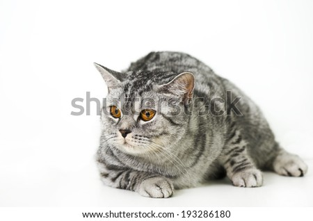 Fatty cat on a white background - stock photo