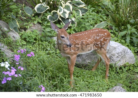 Fawn among plants in a garden on the lookout during its feeding on an early morning spring day.