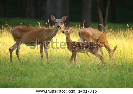 Fawn and two does in Valley Forge - stock photo