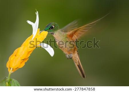 Fawn-breasted Brilliant, Heliodoxa rubinoides, sucking sweet nectar from white and yellow flower, Tandayapa, Ecuador - stock photo