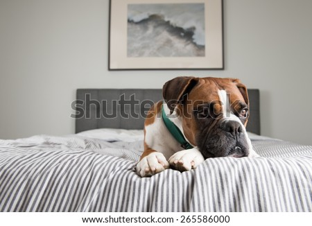 Fawn Colored Pure breed Boxer Dog Relaxing on Owners Bed - stock photo