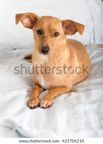 Fawn Colored Terrier Mix Dog Relaxing on Linen Sheets - stock photo