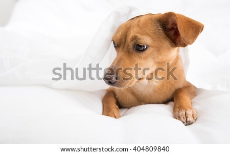 Fawn Colored Terrier Mix Dog Relaxing on White Sheets