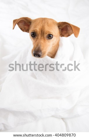 Fawn Colored Terrier Mix Dog Relaxing on White Sheets - stock photo