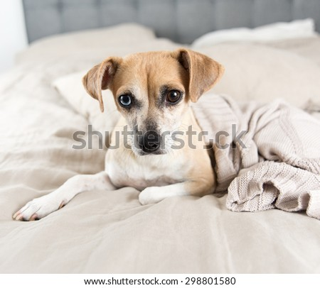Fawn Colored Terrier Mix on Bed