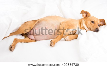 Fawn Colored Terrier Mix Relaxing on White Linen Sheets - stock photo