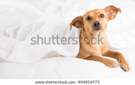 Fawn Colored Terrier Mix Relaxing on White Linen Sheets