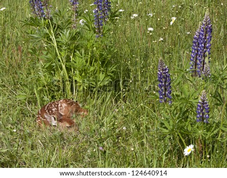 Fawn Curled up in Wildflowers - stock photo