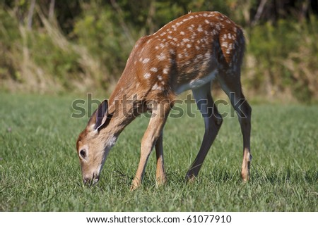 fawn eating grass in the morning