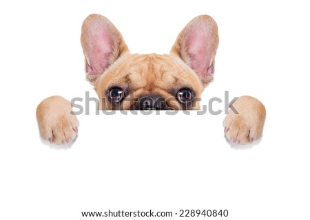fawn french bulldog behind a white blank banner or placard, isolated on white background - stock photo