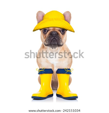 fawn french bulldog sitting and waiting to go for a walk with owner , prepared for rain and dirt,wearing rain boots,  isolated on white background - stock photo
