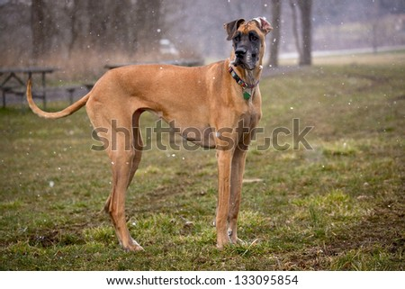 Fawn great dane standing in afield in the snow - stock photo