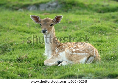 Fawn is lying on grass - stock photo