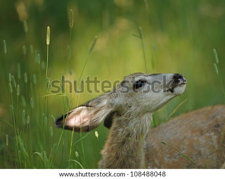 Fawn Mule Deer at Tower Campground in Yellowstone National Park - stock photo