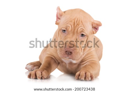 fawn pit bull puppy lying down