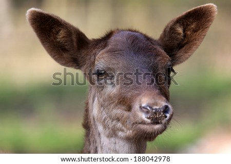 fawn portrait - stock photo