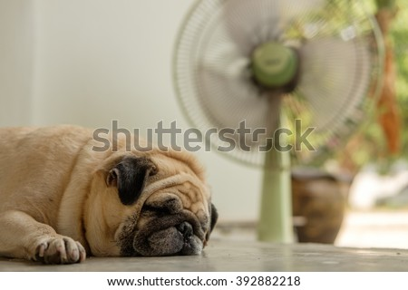 Fawn pug dog lying on concrete floor in front green fan in very hot day. - stock photo